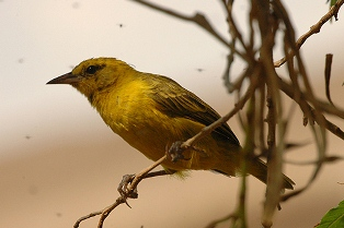 Slender-billed Weaver
