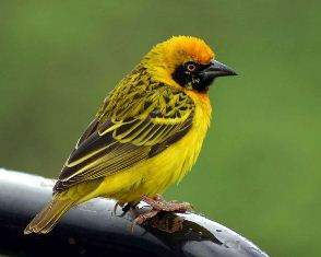 Speke's Weaver