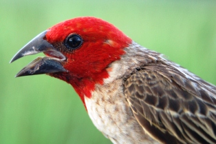Red-headed Quelea