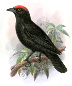 Red-crowned Malimbe