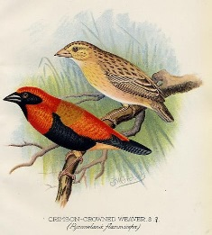 Black-winged Bishop