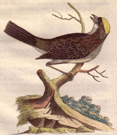 Black-throated Weaver