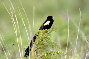 Mountain Marsh Widowbird