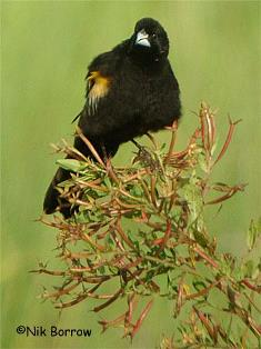 Marsh Widowbird