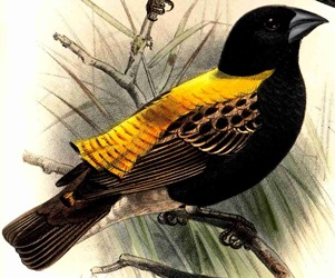 Golden-backed Bishop