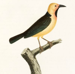 Black-necked Weaver