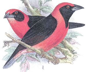Red-bellied Malimbe