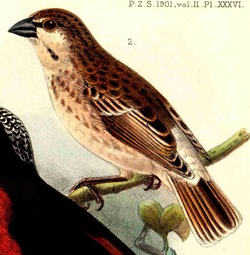 Donaldson-Smith's Sparrow-Weaver