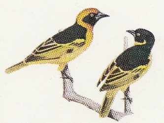 Black-chinned Weaver