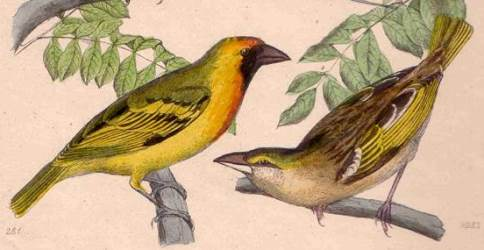 Northern Masked Weaver