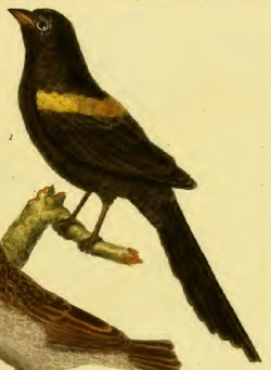 Yellow-mantled Widowbird