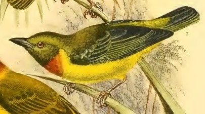 Olive-headed Weaver